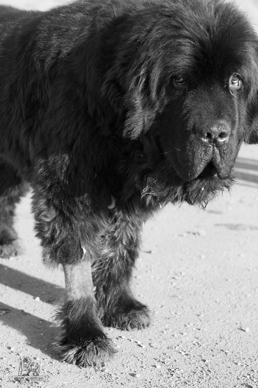 NewfandHound, Newfoundland Dog, Newfie, Dog Photography
