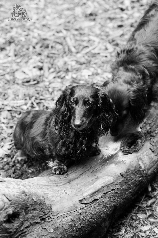 NewfandHound- Nooner & Hazel Logging