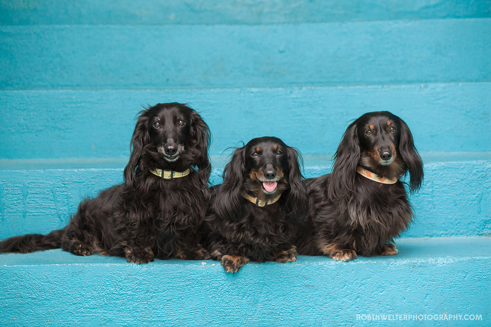 NewfandHound- The Dachshunds of NewfandHound!