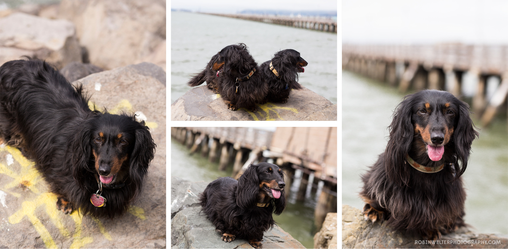 NewfandHound- Dachshunds on the Pier