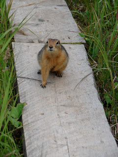 A friendly Sik Sik (arctic ground squirrel)!