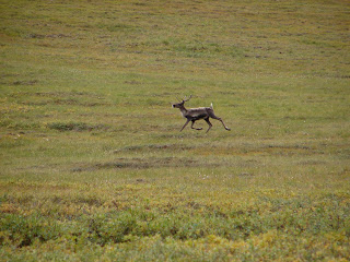 While out YOY hunting, we actually spotted a Caribou prancing through the tundra!