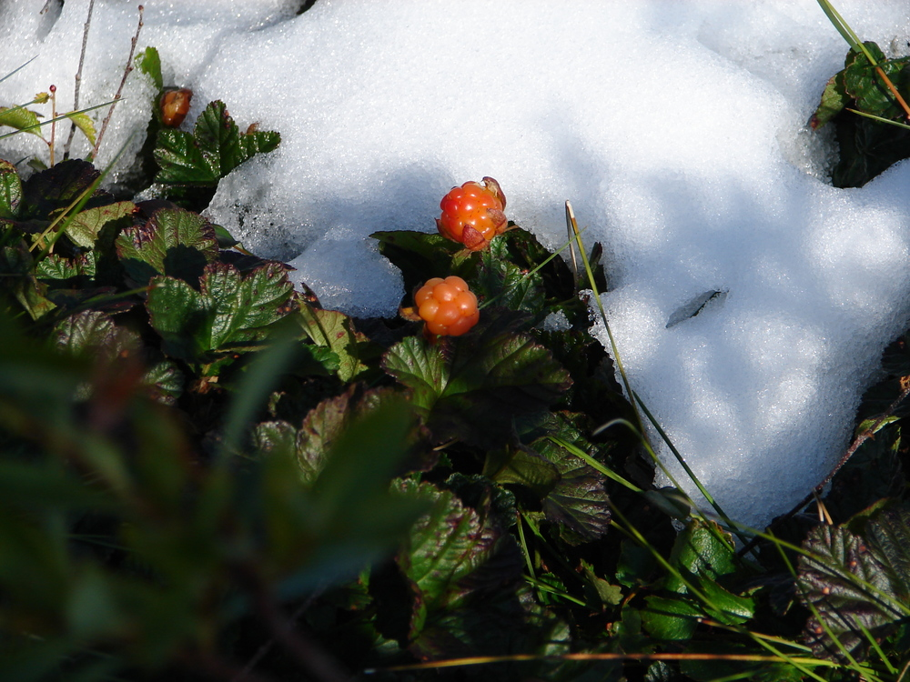 Cloud Berries, (technical name: Rubus chamaemorus), are similar to rasberries or blackberries but are native to higher latitudes and mountainous regions.  These are quite delicious, I loved picking and munching on them as we hike!