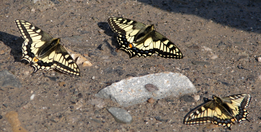 Old World Swallowtail Butterfly basking in the sun to dry their wings after a rain storm.  These butterflies appear similar to the Canadian Tiger swallowtail and may be identified based on the thicker black markings near their body.  You can learn all about these creatures at:  http://www.turtlepuddle.org/alaskan/butterfly12.html