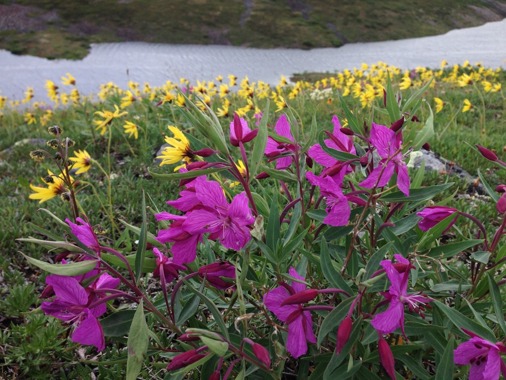 Fireweed in the foreground, with an unknown yellow flower in the background (any suggestions on the identity of the yellow flowers is welcome!)