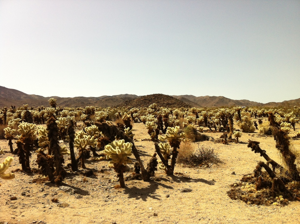 The Cholla Cactus Garden in Joshua Tree National Park - Photo by RP