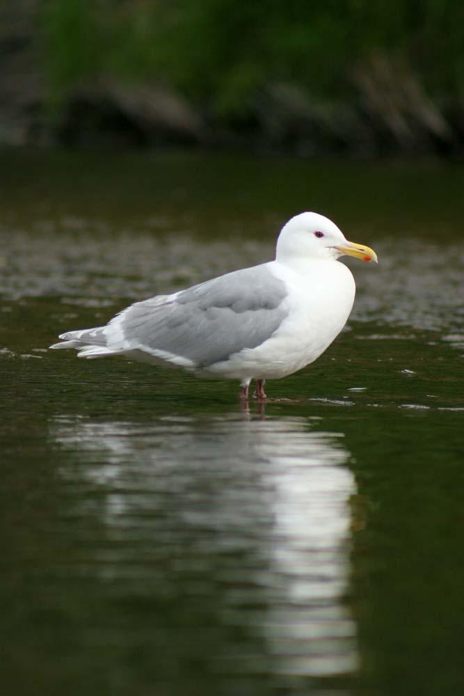 Gull in Alaska