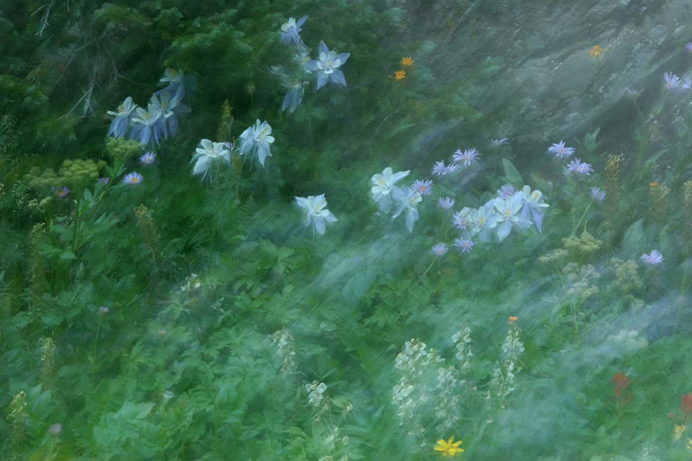 Blurred columbines