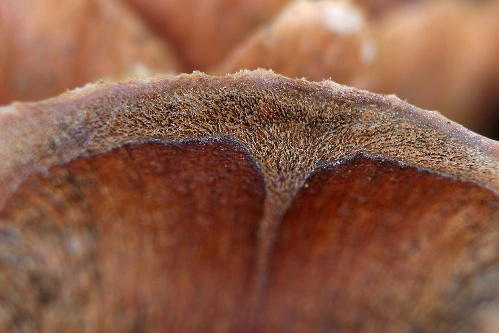Pinecone scale macro