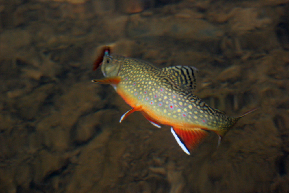 Brook trout in spawning colors