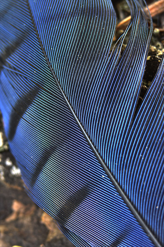 Stellers jay feather