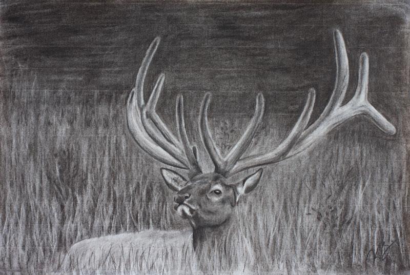 Bull Elk in Velvet at Rocky Mountain National Park, Colorado