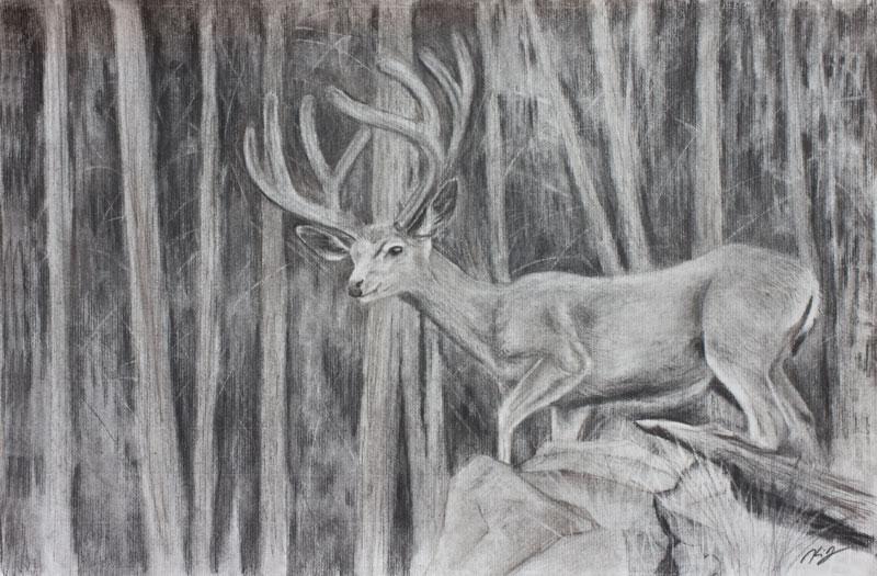 Mule Deer Buck in Velvet at Rocky Mountain National Park, Colorado