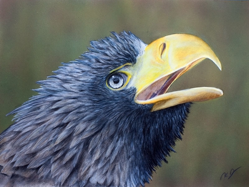 Stellers Sea Eagle Colored Pencil Drawing