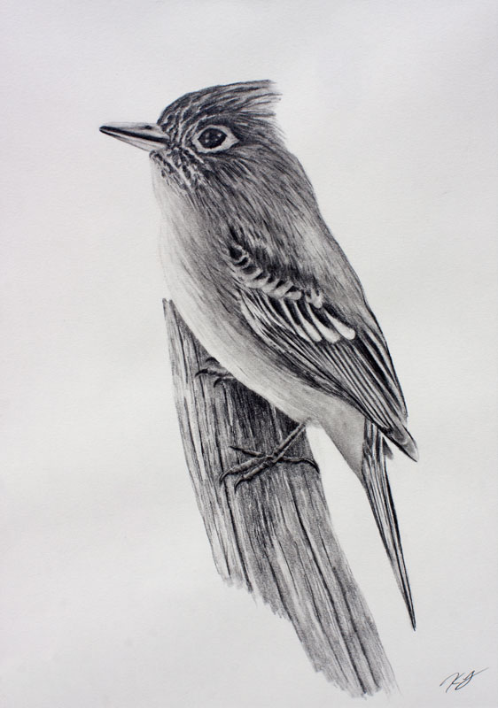 Cordilleran Flycatcher Graphite Drawing 9x12