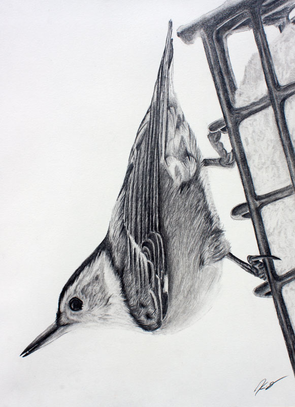 White Breasted Nuthatch Graphite Drawing 9x12