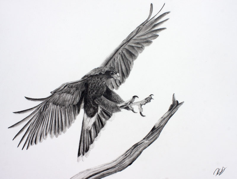 Harris Hawk Graphite Drawing 9x12