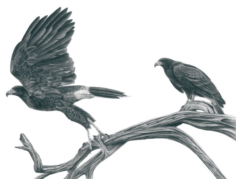 "Harris' Hawk Pair Graphite Drawing 14""x20"" (Prints $30)"