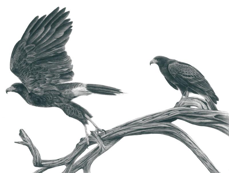 "Harris' Hawk Pair Graphite Drawing 14""x20"" (Prints $30)"