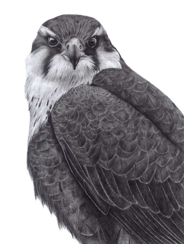 Aplomado Falcon Portrait Graphite Drawing 9x12 $30