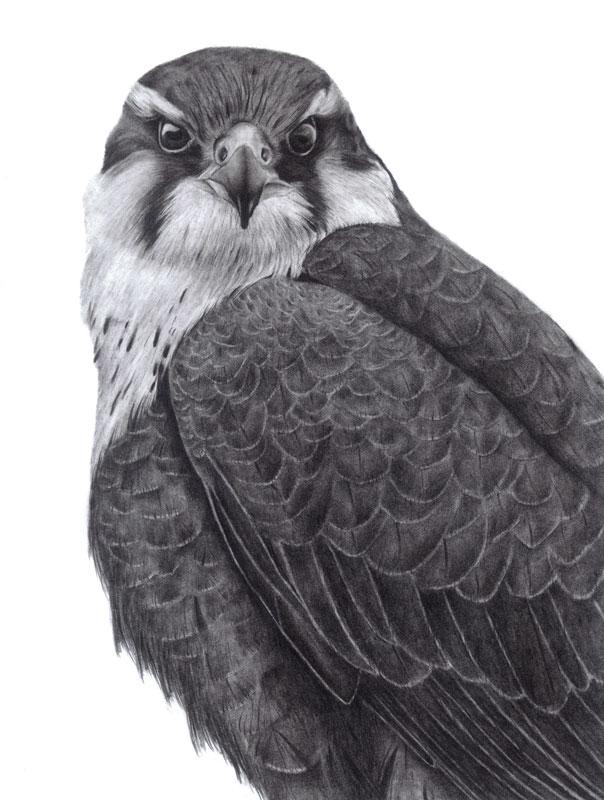 Aplomado Falcon Portrait Graphite Drawing 9x12 $30