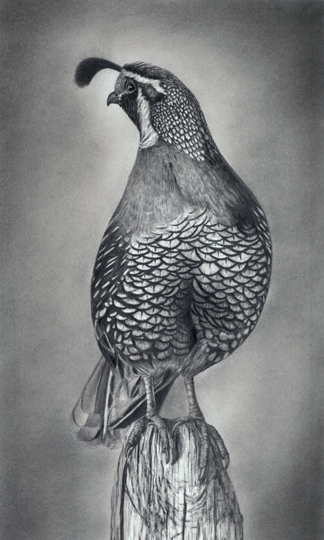 California Quail Graphite Drawing...PRINTS AVAILABLE SOON...