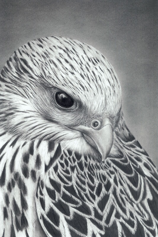 Gyrfalcon Graphite Drawing...PRINTS AVAILABLE SOON...