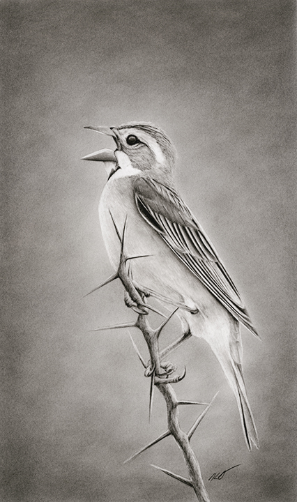 """Osage Song"" Dickcissel Graphite Pencil Drawing 8""x13.5"""