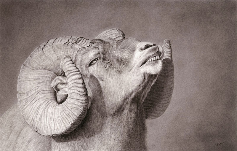 """Flehming Ovis"" graphite pencil drawing giclee print"