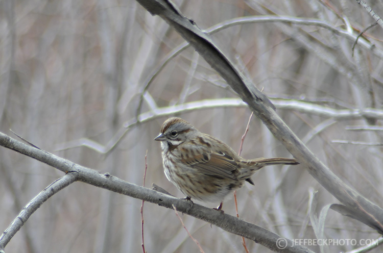 Song Sparrow ( Melospiza melodia ), City Creek Canyon, Utah