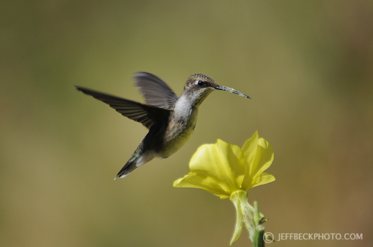 Broad-tailed Hummingbird, Salt Lake City Foothills, Utah