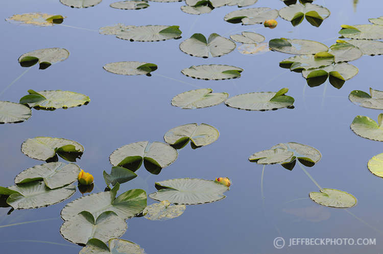 Lily Pads near Island Lake, Uinta Mountains, Utah