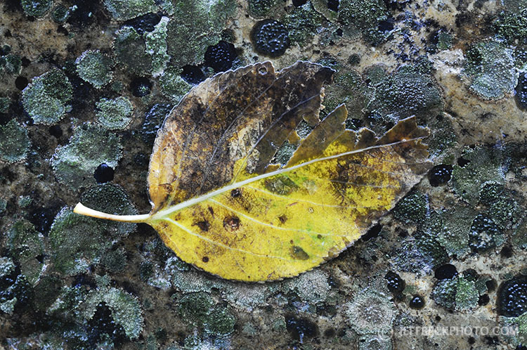 Leaf and Lichen
