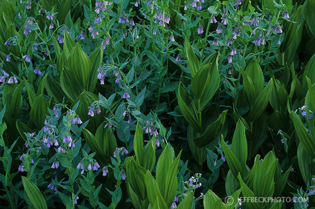 Mountain Bluebells and False Hellebore