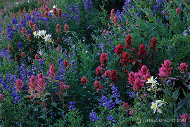 Columbine, Paintbrush, and Lupine