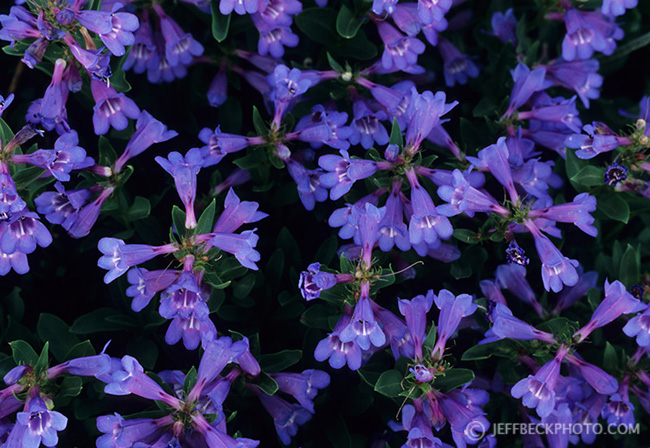 Low Penstemon