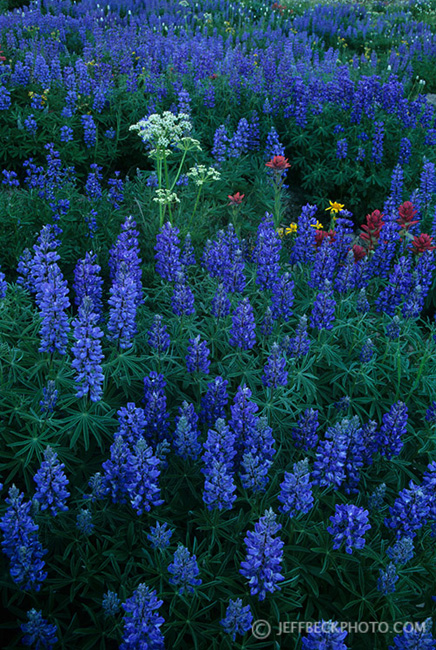 Lupine Spread