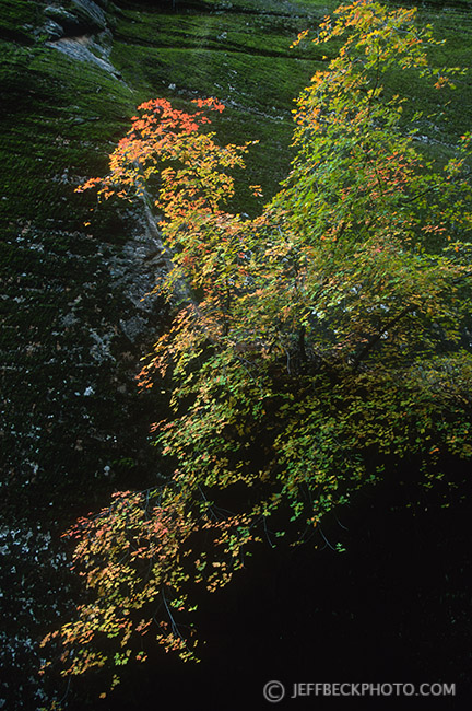 Hidden Canyon Maple