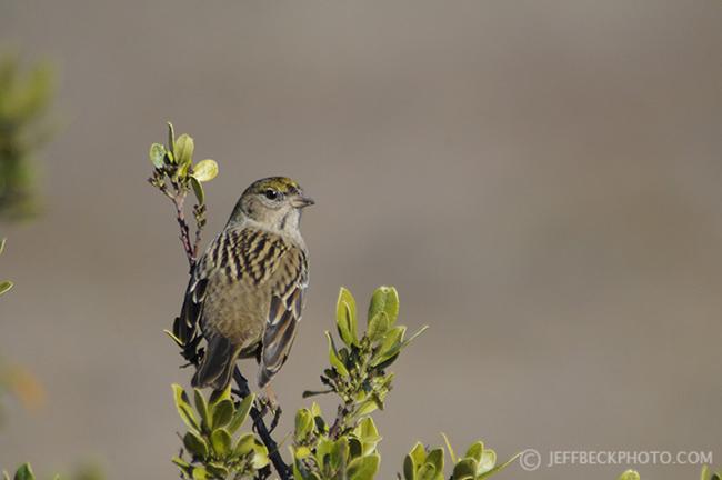 Golden-crowned Sparrow, Baylands, California