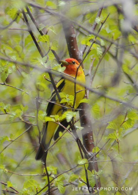 Western Tanager ( Piranga ludoviciana ), Killian Canyon, Utah