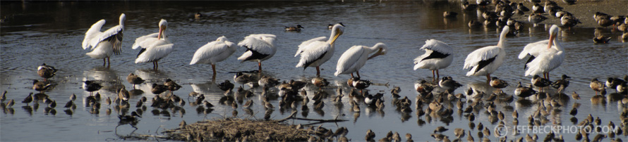 American White Pelicans, Baylands, California