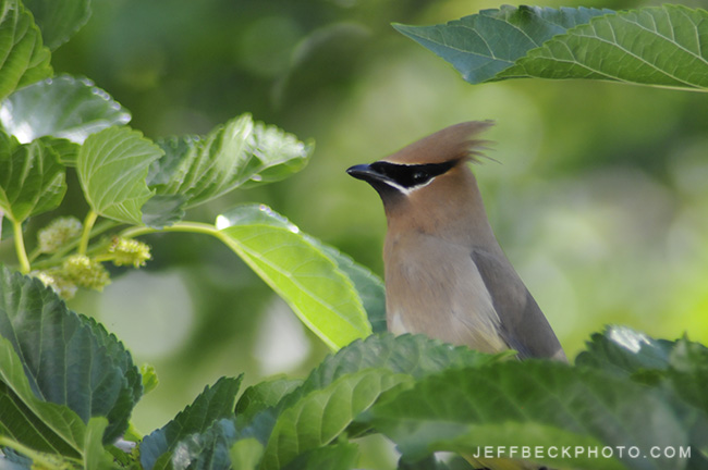 Cedar Waxwing, Salt Lake City, Utah