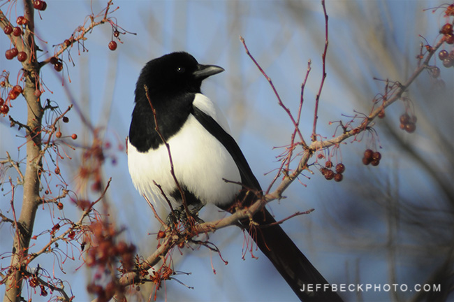 Black-billed Magpie ( Pica hudsonia )