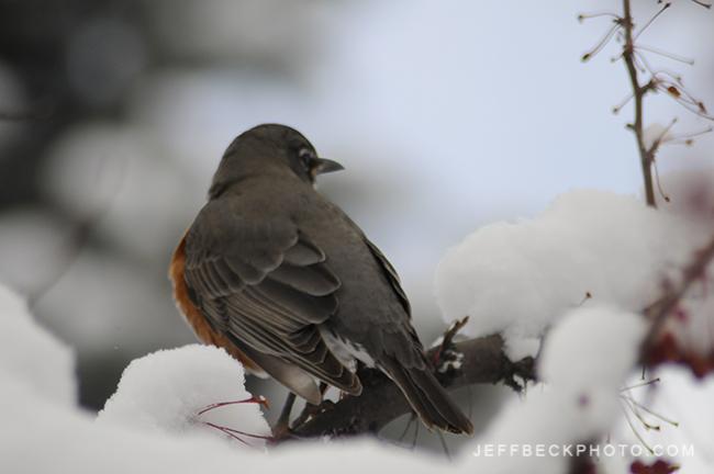 American Robin ( Turdus migratorius )