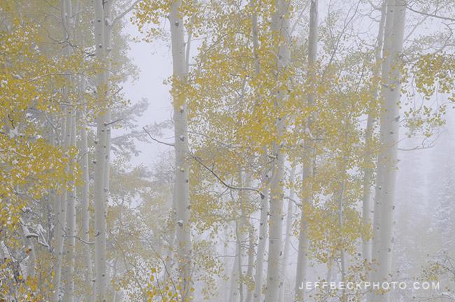 Aspen in Fog, Little Cottonwood Canyon, Utah