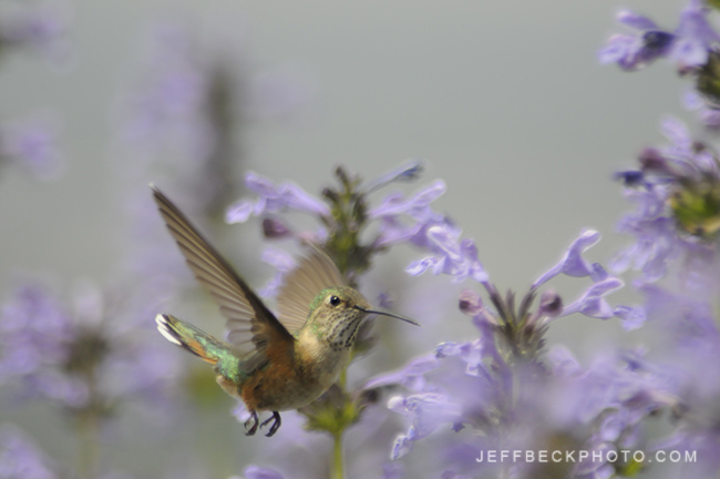 Female Broad-tailed Hummingbird ( Selasphorus platycercus )