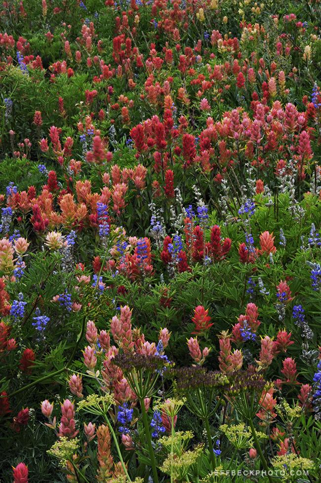 Indian Paintbrush, Wasatch Mountains, Utah