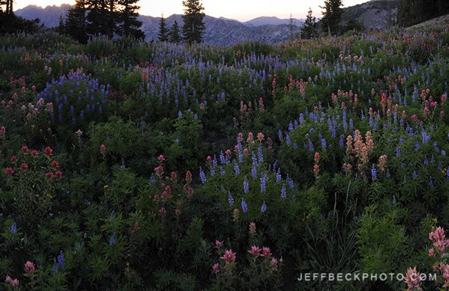 Twilight Wildflowers, Alta, Utah