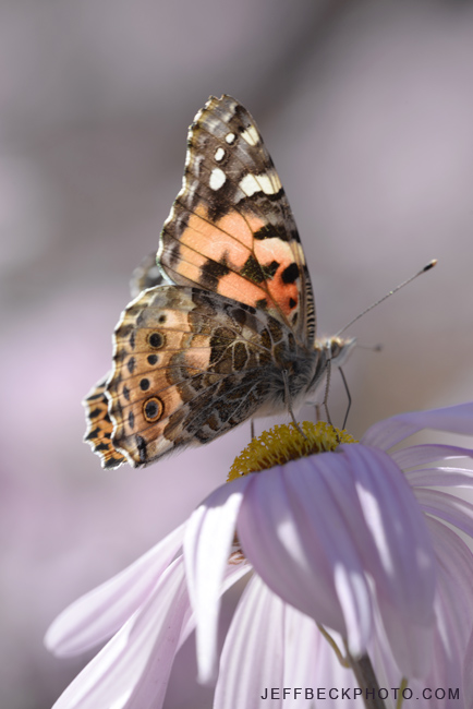 Painted Lady, Red Butte Garden, Utah
