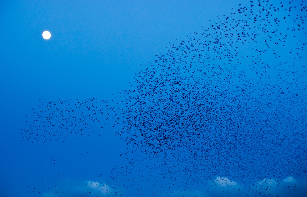 Starlings, Co Meath
